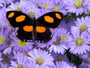 The Grecian Shoemaker Butterfly on Flowers by Darrell Gulin