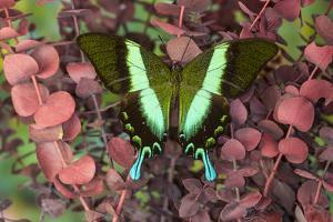 The Green Swallowtail Butterfly, Papilio Blumei by Darrell Gulin