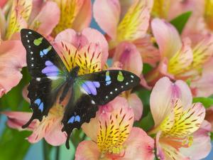 The Purple Spotted Swallowtail Butterfly by Darrell Gulin