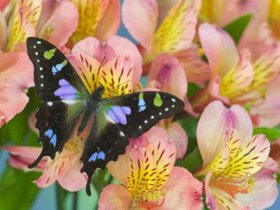 The Purple Spotted Swallowtail Butterfly