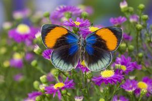 The Star Sapphire Butterfly, Callithea Sapphira by Darrell Gulin