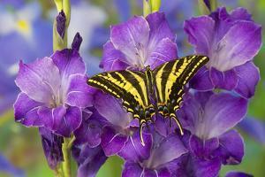 Three-Tailed Tiger Swallowtail Butterfly, Papilio Pilumnus by Darrell Gulin