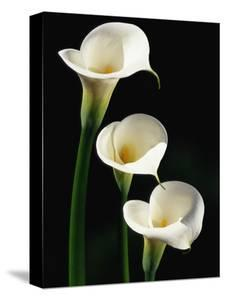 Three White Calla Lilies by Darrell Gulin