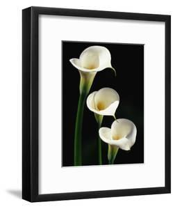 Three White Calla Lilies by Darrell Gulin