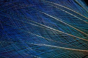 Top Knot Feathers of the Blue Bird of Paradise by Darrell Gulin