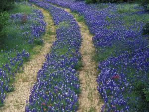 Tracks in Bluebonnets, near Marble Falls, Texas, USA by Darrell Gulin