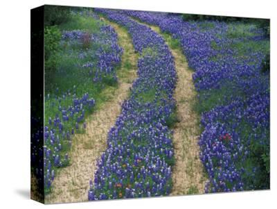 Tracks in Bluebonnets, near Marble Falls, Texas, USA