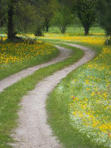 Tracks in Field of Coreopsis Wildflowers Near Brenham, Texas, USA by Darrell Gulin