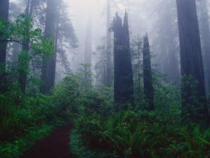 Trail Through Foggy Redwood Forest by Darrell Gulin