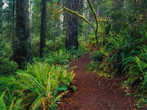Trail Through Redwood Trees by Darrell Gulin