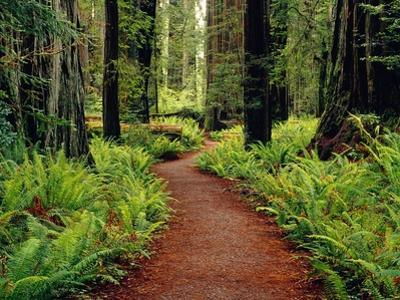 Trail Winding Through Redwoods by Darrell Gulin