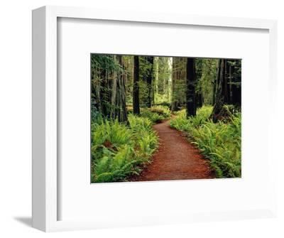 Trail Winding Through Redwoods