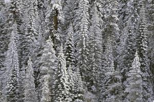 Trees Blanketed with Snow by Darrell Gulin