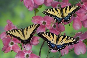 Trio of Eastern Tiger Swallowtail on Pink Dogwood Blooms by Darrell Gulin