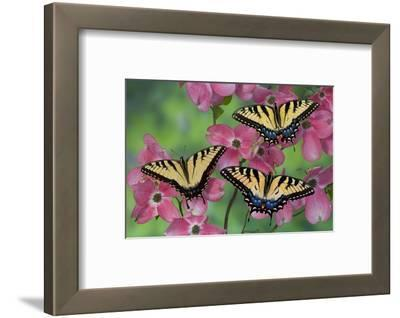 Trio of Eastern Tiger Swallowtail on Pink Dogwood Blooms