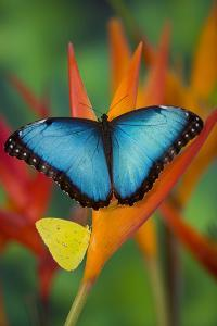 Tropical Butterfly the Blue Morpho on orange Heliconia Flowers by Darrell Gulin