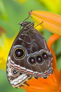Tropical Butterfly the Blue Morpho with wings closed on lily by Darrell Gulin
