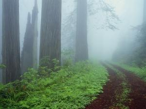 Unpaved Road in Misty Redwood Forest by Darrell Gulin