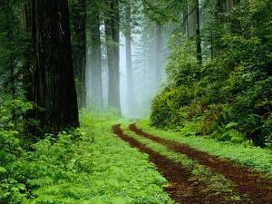 Unpaved Road in Redwoods Forest by Darrell Gulin