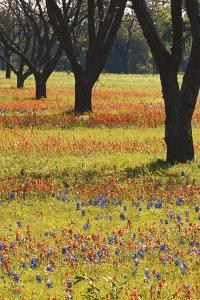 USA, Texas, Lyndon B. Johnson Sp and Historic Site, Bluebonnet Field by Darrell Gulin