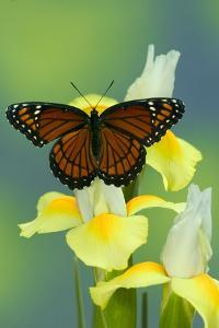 Viceroy Butterfly That Mimics the Monarch Butterfly by Darrell Gulin