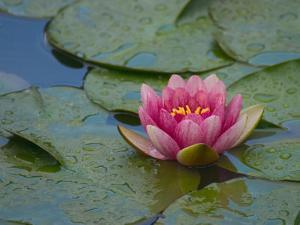 Water Lily in the Japanese Gardens, Washington Arboretum, Seattle, Washington, USA by Darrell Gulin