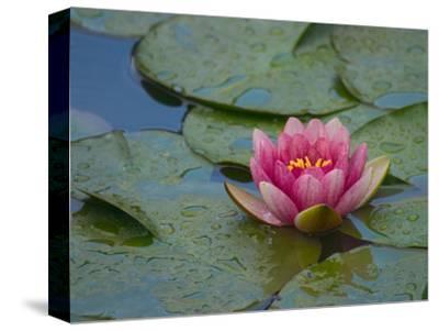 Water Lily in the Japanese Gardens, Washington Arboretum, Seattle, Washington, USA