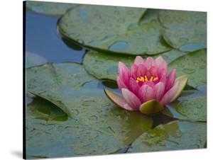 Water Lily in the Japanese Gardens, Washington Arboretum, Seattle, Washington, USA by Darrell Gulin