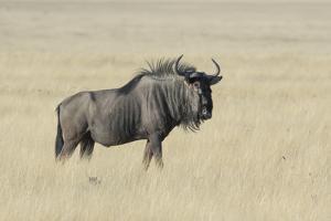 Wildebeest on the open pan Etosha National Park by Darrell Gulin