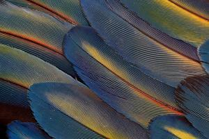 Wing Feathers Fanned Out Scarlet Macaw by Darrell Gulin