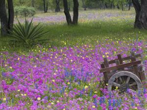 Wooden Cart in Field of Phlox, Blue Bonnets, and Oak Trees, Near Devine, Texas, USA by Darrell Gulin