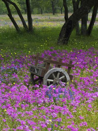 Wooden Cart in Field of Phlox, Blue Bonnets, and Oak Trees, Near Devine, Texas, USA