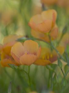 Yellow Flax Along Interstate 35, Near Devine, Texas, USA by Darrell Gulin