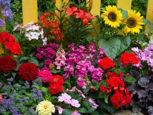 Yellow Picket Fence with Garden of Sunflowers, Delphnium, Zinnia, and Geranium by Darrell Gulin