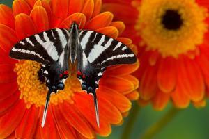 Zebra Swallowtail Butterfly by Darrell Gulin