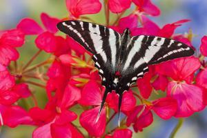 Zebra Swallowtail, North American Swallowtail Butterfly by Darrell Gulin