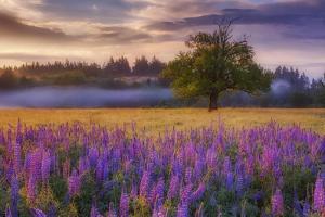 Lupine Sunrise by Darren White Photography