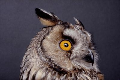 Eagle Owl Head Detail