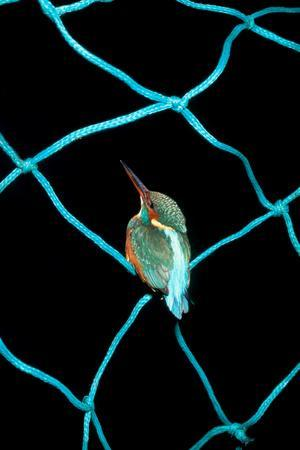 European Kingfisher Alcedo Atthis Perched on Blue Fishing Net