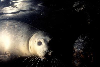 Grey Seals Halichoerus Grypus under Water