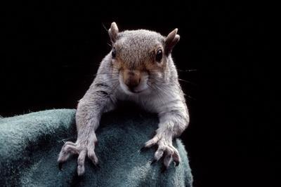 Grey Squirrel (Sciurus Carolinensis), Detail, Uk