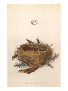 Dartford Warbler Egg and Nest