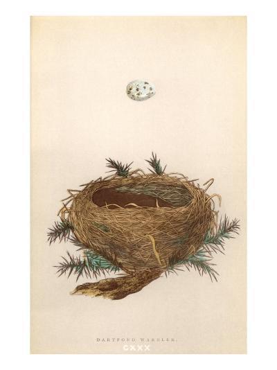 Dartford Warbler Egg and Nest--Art Print