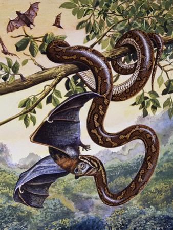 Darwin Carpet Python (Morelia Spilota Variegata), Pythonidae