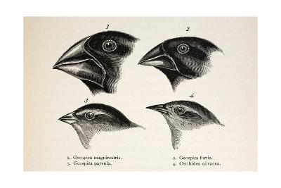 Darwin's Galapagos Finches-Stewart Stewart-Giclee Print