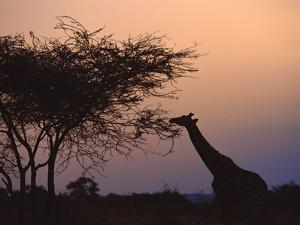 Reticulated Giraffe by Datacraft Co Ltd