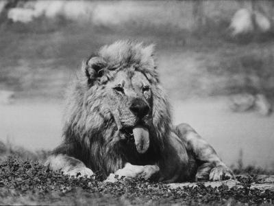 Date Unknownfrazier 19 Year Old Lion at Lion Country Safari South of Los Angeles-Ralph Crane-Photographic Print