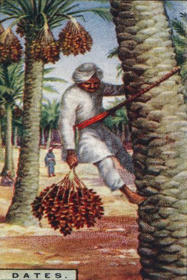 'Dates. - Gathering the Fruit, N. Africa', 1928-Unknown-Giclee Print