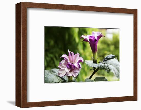 Datura, Flowers, Plant-Sweet Ink-Framed Photographic Print