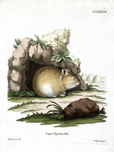 Daurian Pika--Giclee Print